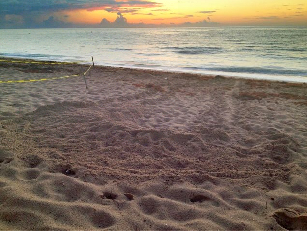 Turtle tracks at dawn outside the Pelican Grand Hotel in Fort Lauderdale